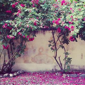 Prunkande mörk-rosa rosenbuskar i en trädgård.